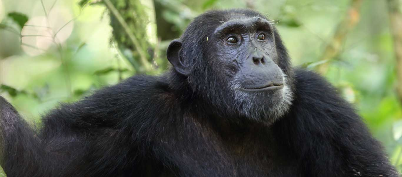 Uganda safari tour photo of Chimpanzee in Kibale National Park
