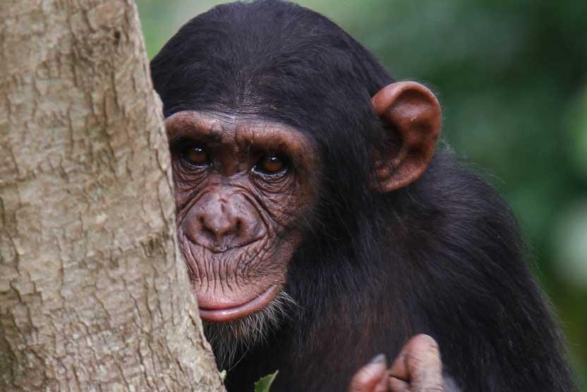 Uganda safari tour image of a Chimpanzee in Kibale National Park.