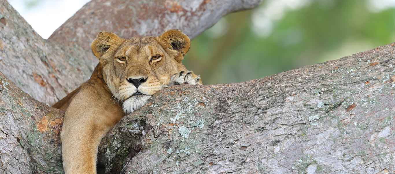 Uganda wildlife tour image of tree-climbing Lion
