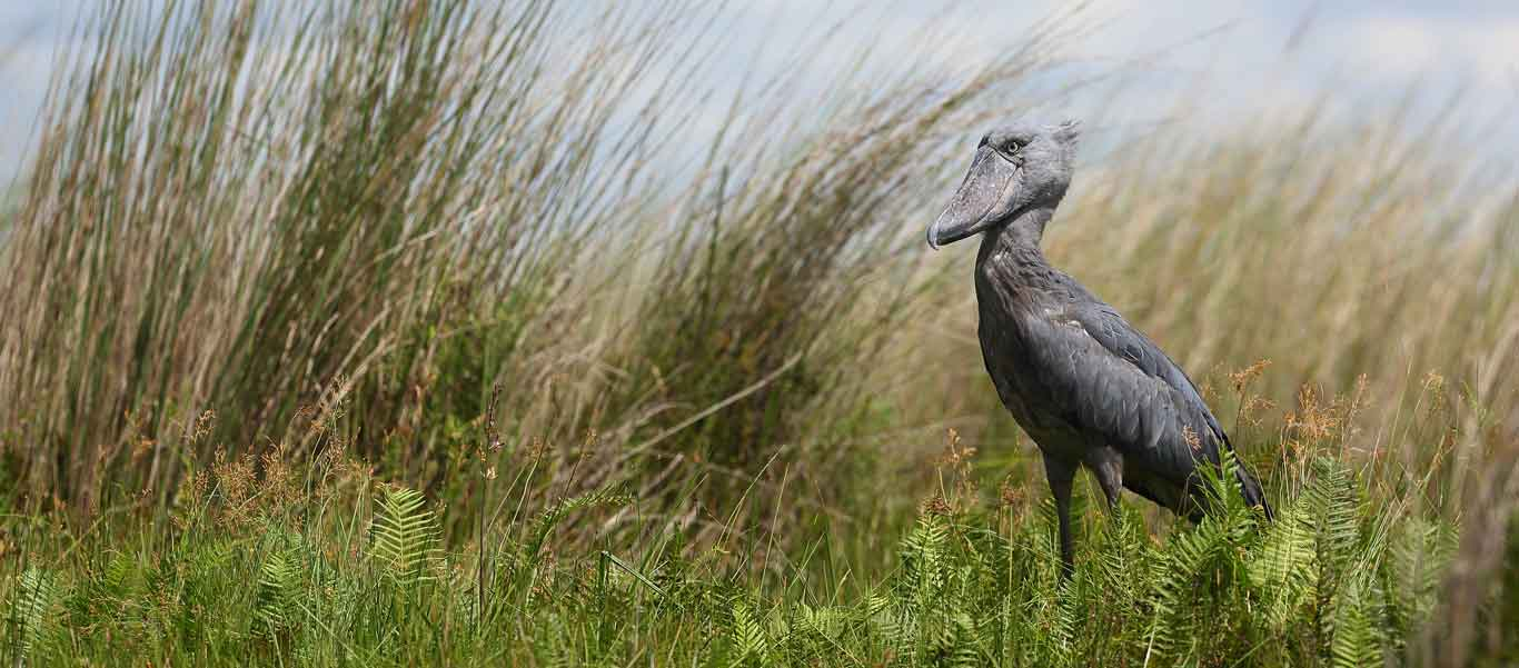 Uganda gorilla safari photo of Shoebill Stork