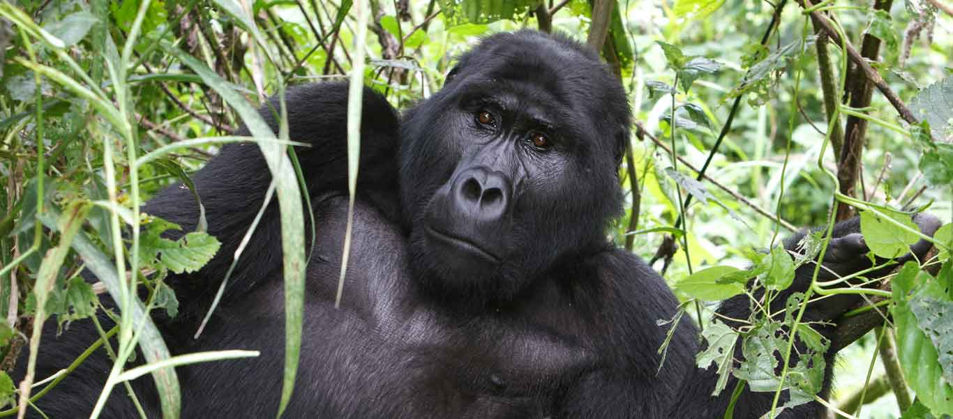 Uganda gorilla safaris portrait of a Mountain Gorilla