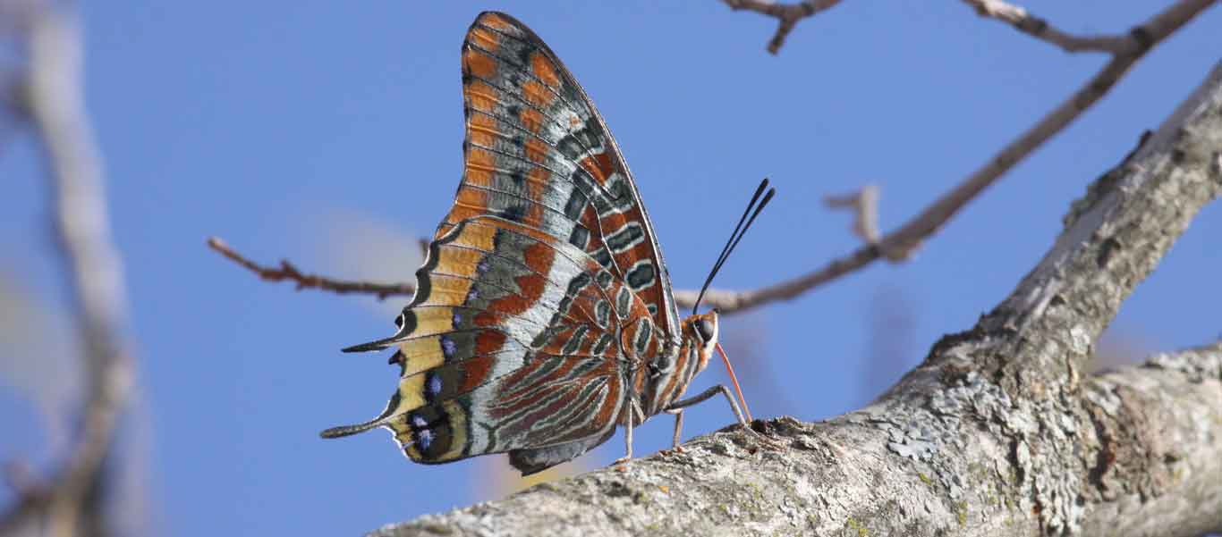 Spain wildlife tours photo of a Two-tailed Pasha