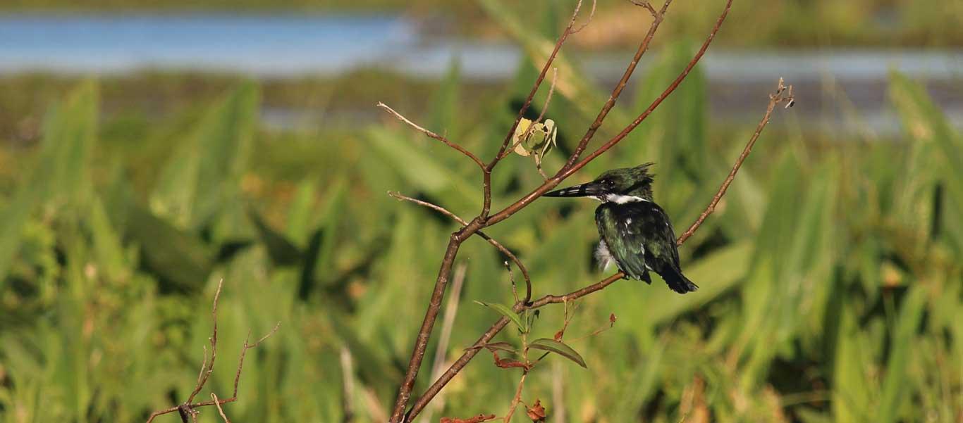 Argentina travel image of an Amazon Kingfisher