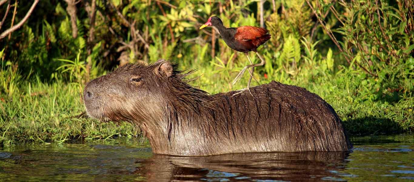 Argentina travel image of Capybara in Ibera Wetland