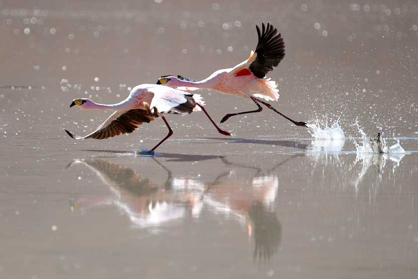 Bolivian culture and nature tour image of flamingos taking flight