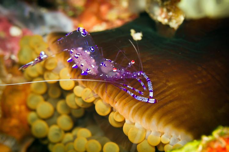 Raja Ampat photography sarasvati anemone shrimp