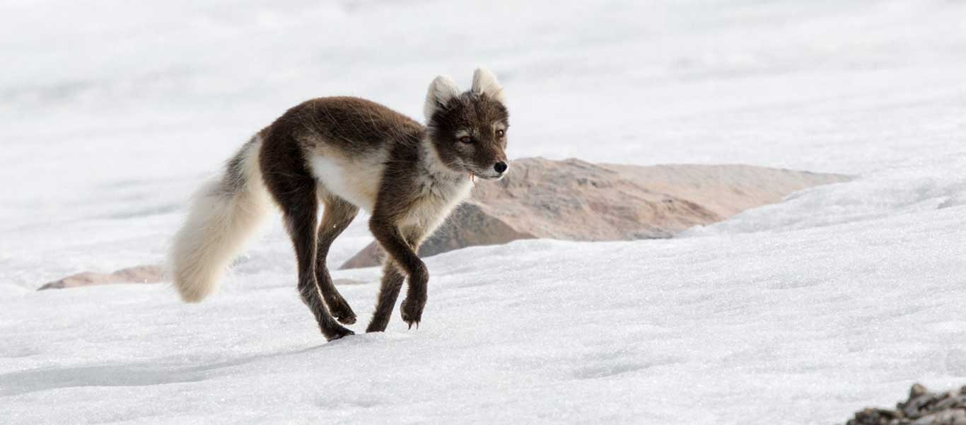 expeditions Franz Josef Land image of Arctic Fox