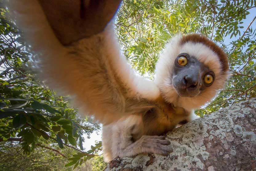 Madagascar safari image of Verreaux's Sifaka.