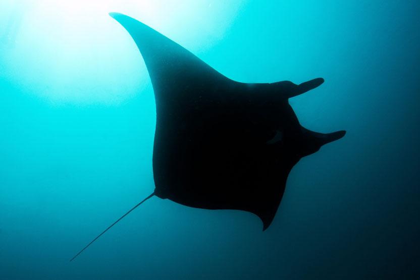 Ningaloo Reef Australia underwater image of Manta Ray