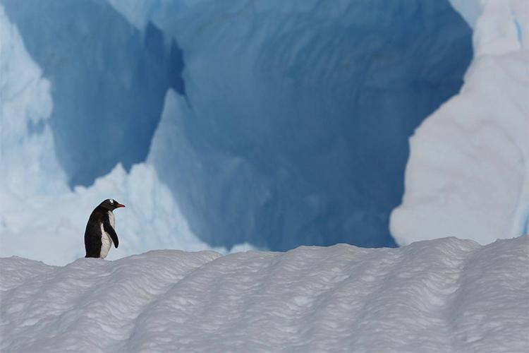 Antarctica ice with gentoo penguin on Antarctic Peninsula