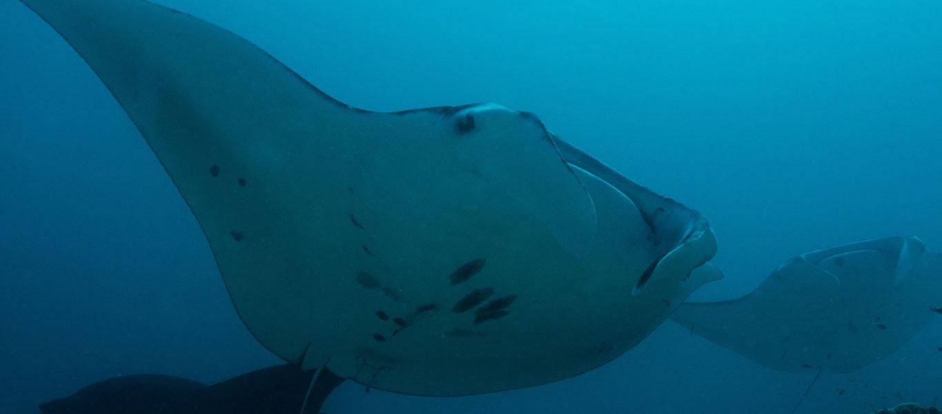 Ningaloo Reef underwater photo of Manta Rays