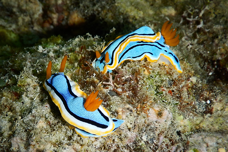 Raja Ampat islands annas chromodoris nudibranch