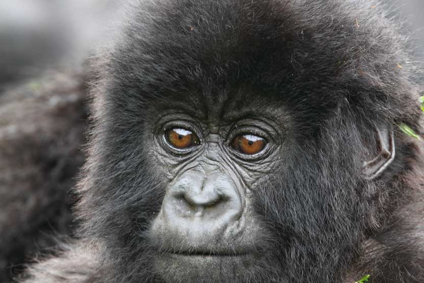 Uganda safaris photo of baby Gorilla