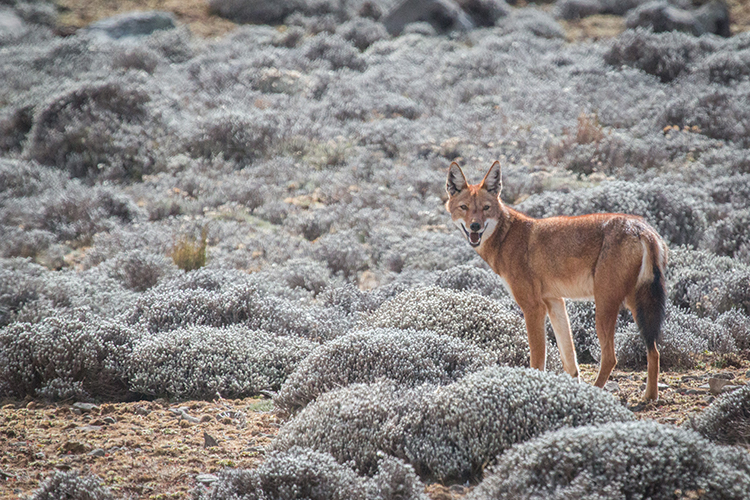 Ethiopian wolf seen on Ethiopia tour