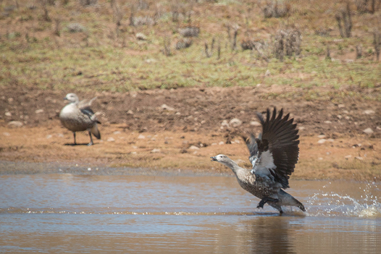 Blue-winged goose seen on Ethiopian tour