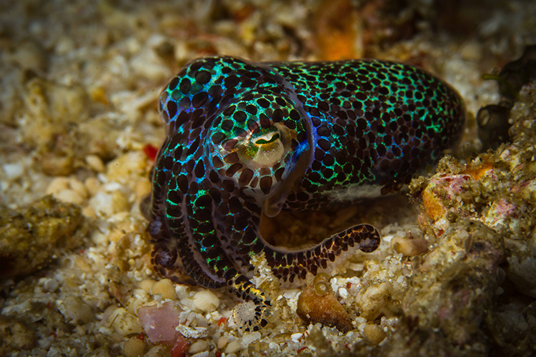 Raja Ampat islands berrys bobtail squid
