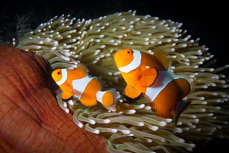 Raja Ampat islands false clownfish in anemone