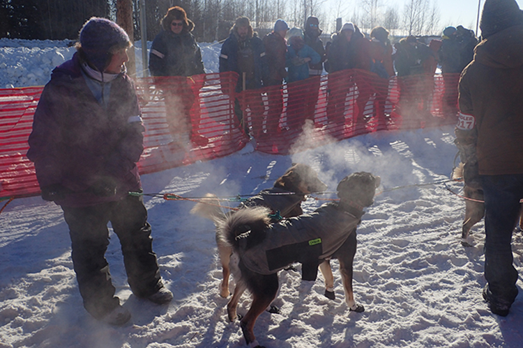 Dogs and spectators 2017 Iditarod winners