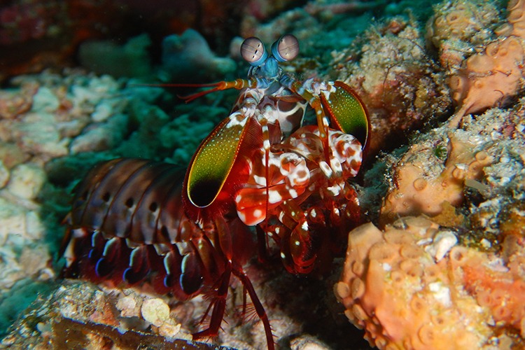Raja Ampat islands peacock mantis shrimp