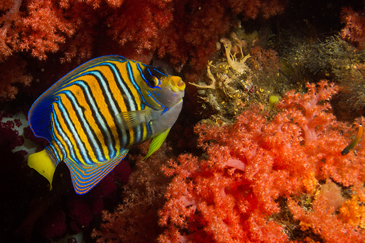 Raja Ampat islands regal angelfish