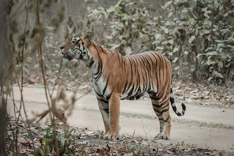 Bengal Tiger seen on India wildlife safari