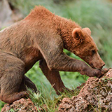 Cantabrian brown bear seen on Spain wildlife tour