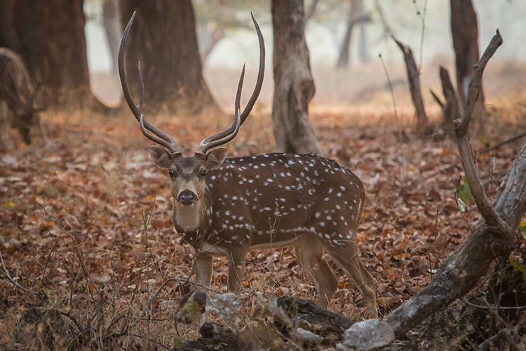 Chital spotted deer seen on India wildlife safari