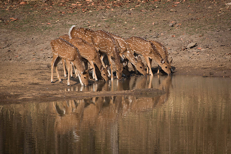 Chita spotted deer seen on India wildlife safari