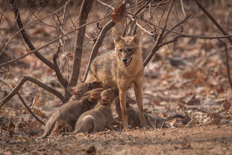 Golden jackal seen on India wildlife safari