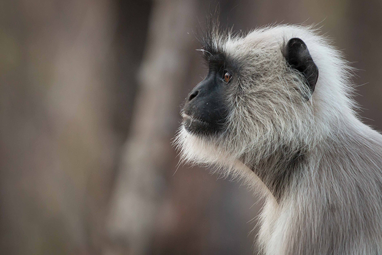 hanuman langur seen on India wildlife safari