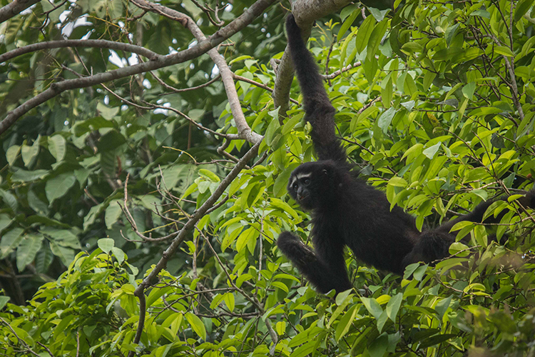 Hoolock Gibbon seen on India wildlife safari