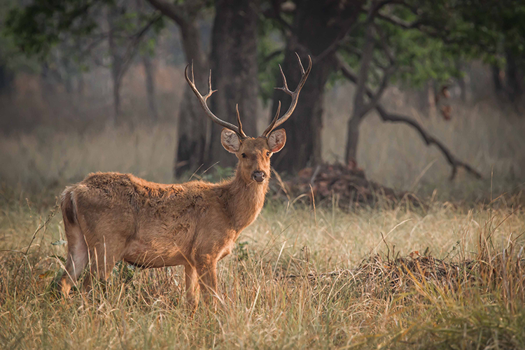Barasingha seen on India wildlife safari