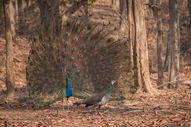 Indian peafowl seen on India wildlife safari