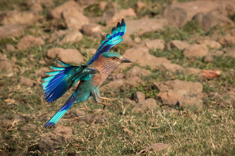 Indian roller seen on India wildlife safari