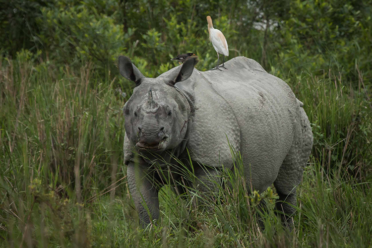Indian one-horned Rhino seen on India wildlife safari