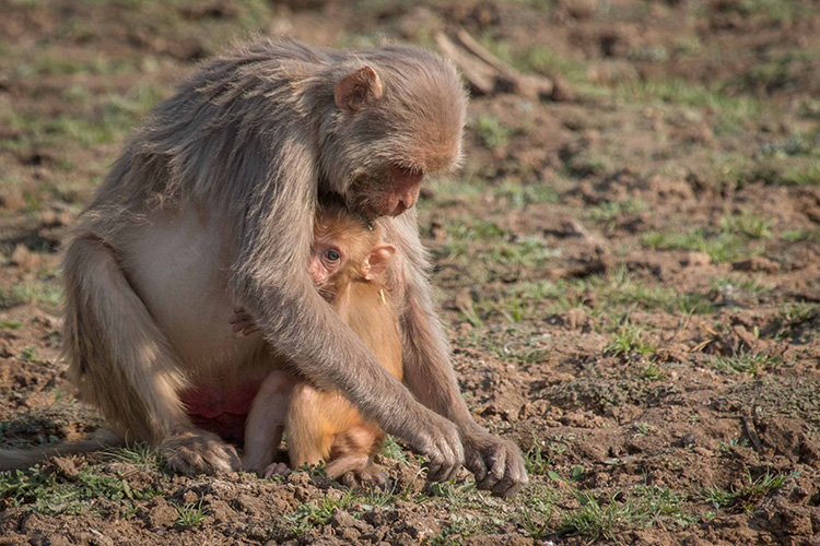 Rhesus macaque seen on India wildlife safari