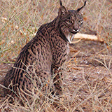 Iberian Lynx seen on Spain wildlife tour