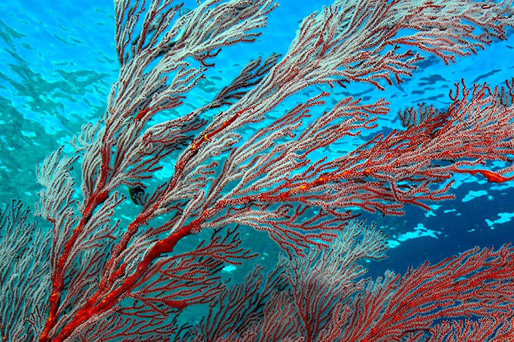 Gorgonian sea fan seen at Australia dive sites