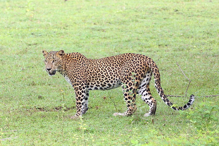 Leopard seen on Sri Lanka wildlife tour