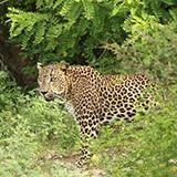 Leopard seen on Sri Lanka wildlife tour