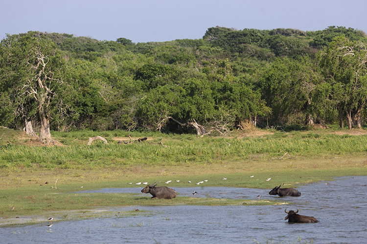 Water buffalo at Yala national park on Sri Lanka wildlife tour