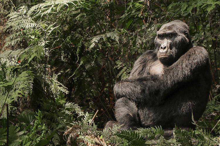Blackback gorilla seen on Uganda Gorilla Trekking tour