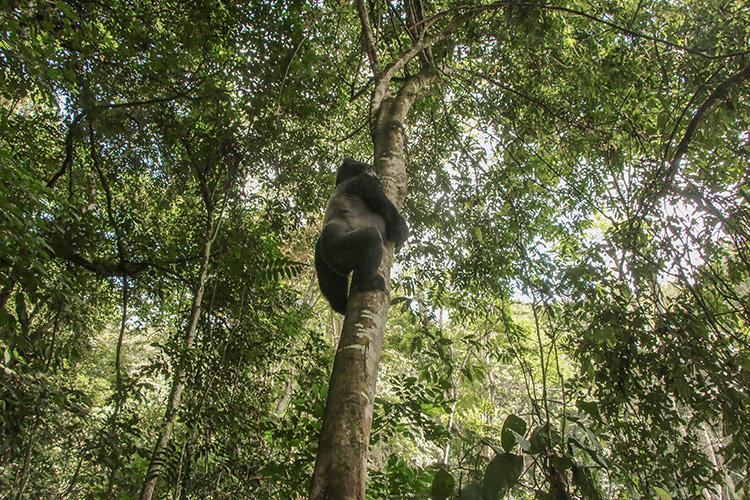 Silverback gorilla climbing tree seen on Uganda Gorilla Trekking tour
