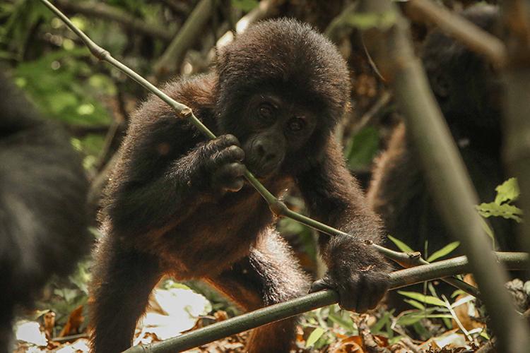 Baby gorilla seen on Uganda Gorilla Trekking tour