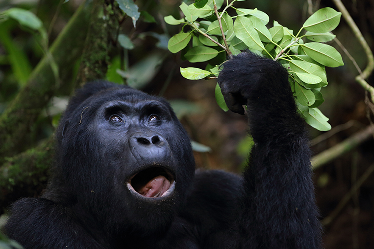 Gorilla seen on Uganda Gorilla Trekking tour