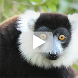 Madagascar wildlife safari video with play button