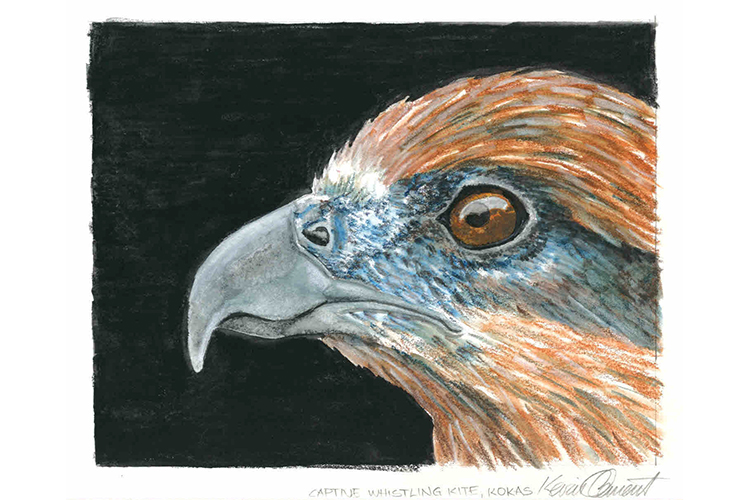 Illustration of Whistling Kite from collection of Papua New Guinea images