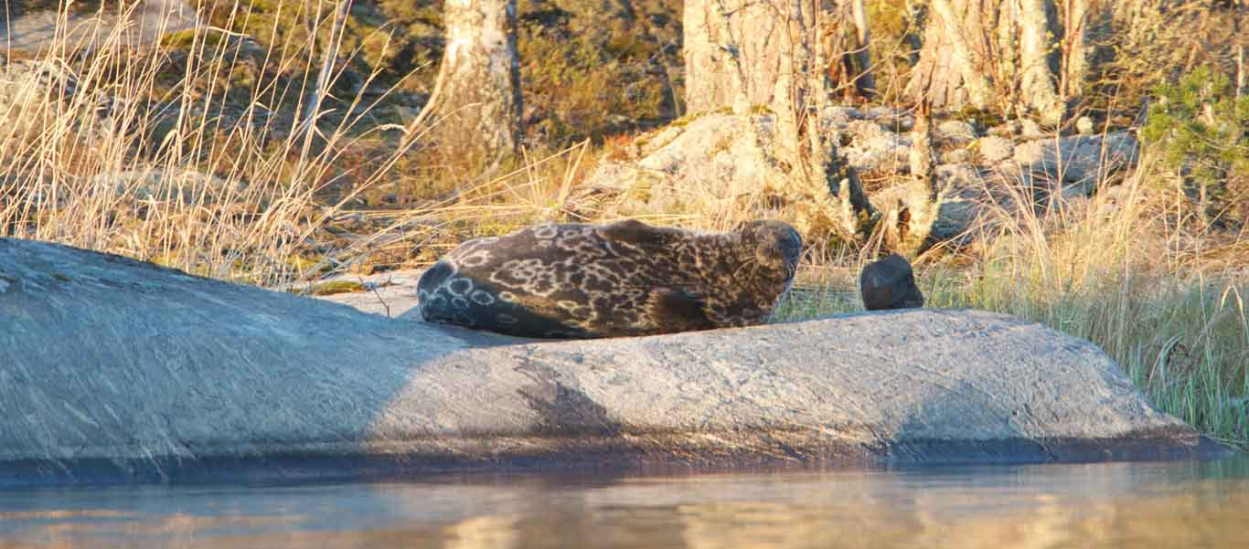 Finland wildlife tour picture of Saimaa Seal on rock