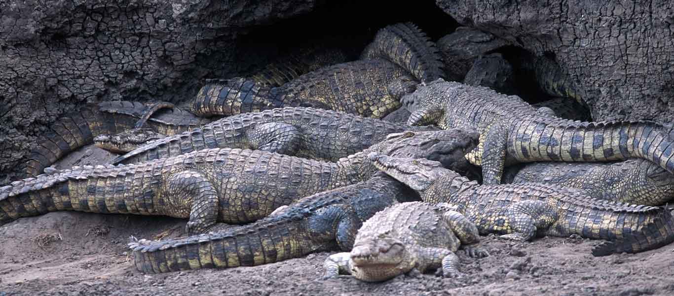 Southern Tanzania safari photo of Nile Crocodiles