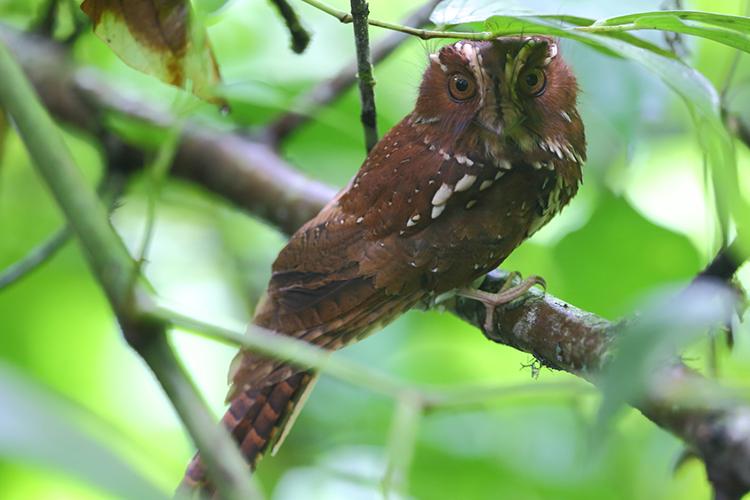 Feline Owlet Nightjar on Vogelkop Peninsula in Western New Guinea on 9000 bird quest